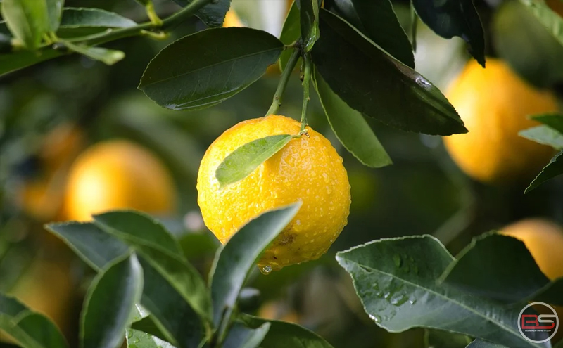 Lemon: Nutrition Fact File